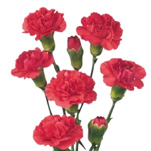 My Carnations